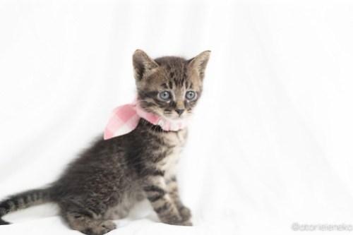 アトリエイエネコ Cat Photographer 27083634577_6edac02a33 1日1猫!高槻ねこのおうち つばさくん♪ 1日1猫!  高槻ねこのおうち 里親様募集中 猫写真 猫 子猫 大阪 写真 保護猫 キジ猫 Kitten Cute cat