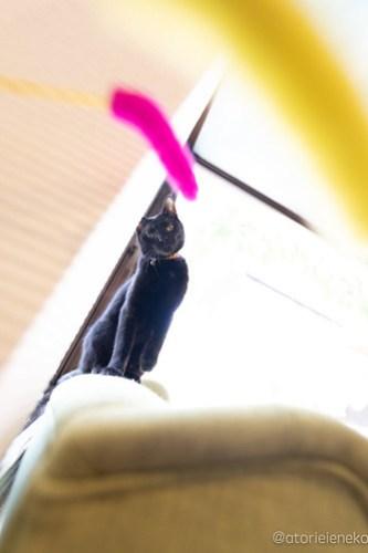 アトリエイエネコ Cat Photographer 28165146898_e1ed7d3da1 1日1猫!保護猫カフェ 森のねこ舎 (や)に行ってきた♪その3 1日1猫!  里親様募集中 猫写真 猫カフェ 猫 森のねこ舎 子猫 大阪 初心者 写真 保護猫カフェ 保護猫 スマホ カメラ Kitten Cute cat