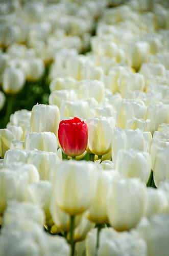 Skagit Valley Tulips-60