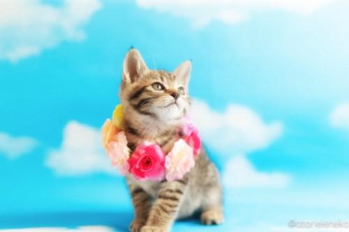 アトリエイエネコ Cat Photographer 26999637167_c65338d0f3 1日1猫!ニャンとぴあキャッツ 里親様募集中のあゆちゃん♪ 1日1猫!  里親様募集中 猫写真 猫カフェ 猫 子猫 大阪 初心者 写真 保護猫カフェ 保護猫 ニャンとぴあ スマホ キジ猫 カメラ おおさかねこ倶楽部 Kitten Cute cat