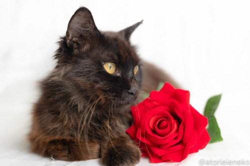 アトリエイエネコ Cat Photographer 42539911395_c1ce5f86ea 1日1猫!おおさかねこ倶楽部 フクお嫁に行きます♪ 1日1猫!  黒猫 里親様募集中 猫写真 猫カフェ 猫 子猫 大阪 写真 保護猫 スマホ カメラ おおさかねこ倶楽部 Kitten Cute cat