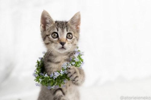 アトリエイエネコ Cat Photographer 42539954045_69bc0862ce 1日1猫!おおさかねこ俱楽部 里親様募集中の華ちゃん♪ 1日1猫!  里親様募集中 猫写真 猫カフェ 猫 子猫 大阪 初心者 写真 ニャンとぴあ キジ猫 カメラ おおさかねこ倶楽部 Kitten Cute cat