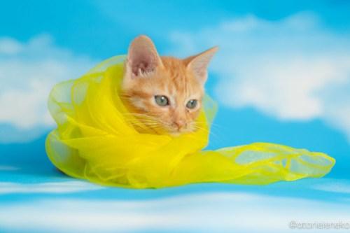 アトリエイエネコ Cat Photographer 28379183297_b85640b5df 1日1猫!おおさかねこ俱楽部 おぼっちゃまくんの里親様決定♪ 1日1猫!  里親様募集中 猫写真 猫カフェ 猫 子猫 大阪 写真 保護猫カフェ 保護猫 ニャンとぴあ カメラ おおさかねこ倶楽部 Kitten Cute cat