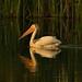 Pelican at golden hour