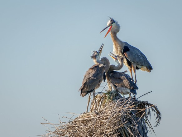 Hungry Herons