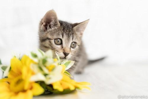 アトリエイエネコ Cat Photographer 29573740848_003483c42f 1日1猫!おおさかねこ俱楽部 里親様募集中の華ちゃん♪ 1日1猫!  里親様募集中 猫写真 猫カフェ 猫 子猫 大阪 初心者 写真 ニャンとぴあ キジ猫 カメラ おおさかねこ倶楽部 Kitten Cute cat