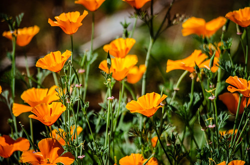 Yard California Poppies-001
