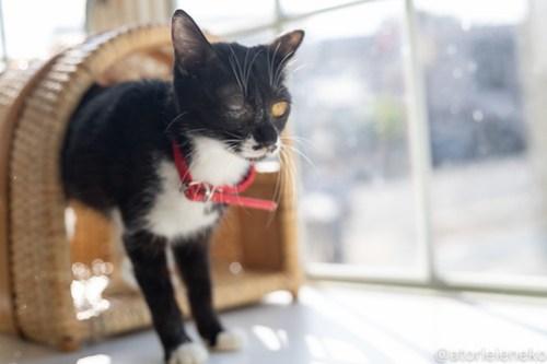 アトリエイエネコ Cat Photographer 27754939548_ecb7c5ca03 1日1猫!高槻ねこのおうち 里親様募集中のクロコちゃん♪ 1日1猫!  高槻ねこのおうち 里親様募集中 猫写真 猫 子猫 大阪 初心者 写真 保護猫 ハチワレ スマホ カメラ Kitten Cute cat