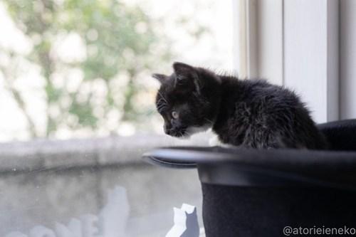 アトリエイエネコ Cat Photographer 40731978565_b17287d111 1日1猫!高槻ねこのおうち_キュートなハチワレ女の子♪ 1日1猫!  高槻ねこのおうち 猫写真 猫カフェ 猫 大阪 写真 保護猫カフェ 保護猫 ハチワレ スマホ カメラ Kitten Cute cat