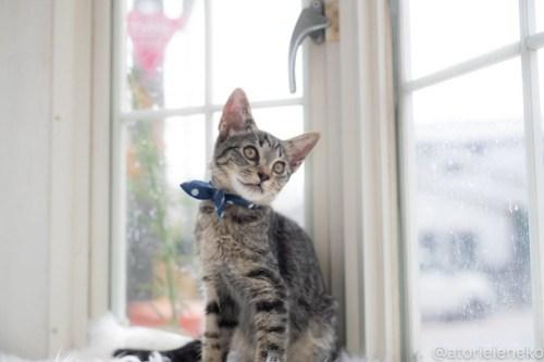 アトリエイエネコ Cat Photographer 43978859891_437440fcfe 1日1猫!高槻ねこのおうち 里活中のラッキー♪ 1日1猫!  高槻ねこのおうち 里親様募集中 猫写真 猫カフェ 猫 子猫 大阪 初心者 写真 保護猫カフェ 保護猫 スマホ キジ猫 カメラ Kitten Cute cat