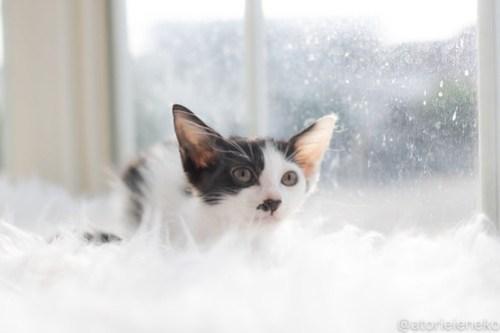 アトリエイエネコ Cat Photographer 43073451805_665b0c2ebe 1日1猫!高槻ねこのおうち 里活中のザラメちゃん♪ 1日1猫!  高槻ねこのおうち 里親様募集中 猫写真 猫カフェ 猫 子猫 大阪 初心者 写真 保護猫カフェ 保護猫 ハチワレ スマホ Kitten Cute cat
