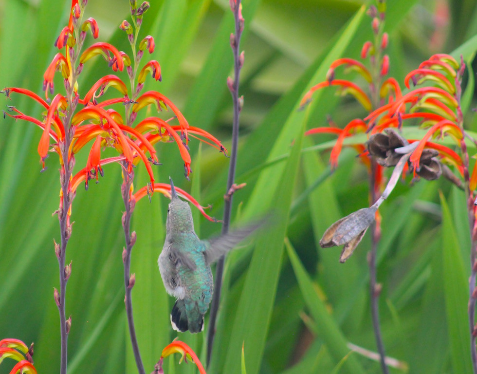 kolibrit2