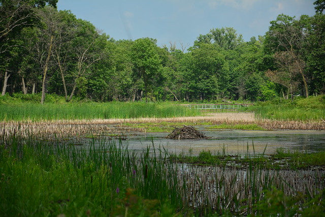 Miller Woods pond beaver lodge