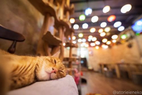 アトリエイエネコ Cat Photographer 42951382535_fbc2a0d942 1日1猫!保護猫カフェウリエルへ行ってきた(1/2)♪ 1日1猫!  里親様募集中 猫写真 猫カフェ 猫 大阪 初心者 写真 保護猫カフェウリエル 保護猫カフェ 保護猫 中崎町 スマホ カメラ ウリエル Kitten Cute cat
