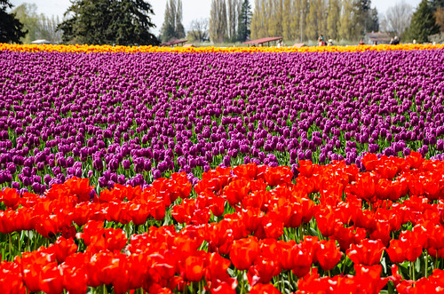 Skagit Valley Tulips-156