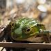 Zonnende groene kikker