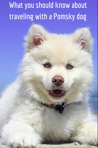 What you should know about traveling with a Pomsky dog