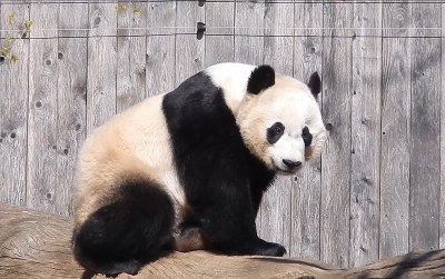 (Adorably) Handsome Bei Bei