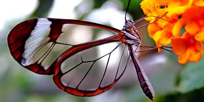 papillon_ailes_transparentes_glaucome_2018