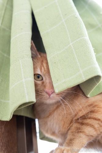 アトリエイエネコ Cat Photographer 40575637085_68a87c60c1 1日1猫!保護猫カフェねこんチ こんちゃん! 1日1猫!  猫カフェ 猫 子猫 大阪 写真 保護猫カフェねこんチ 保護猫カフェ 保護猫 スマホ カメラ Kitten Cute cat
