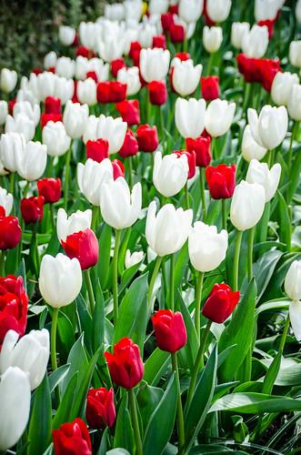 Roozengaarde Tulips-025