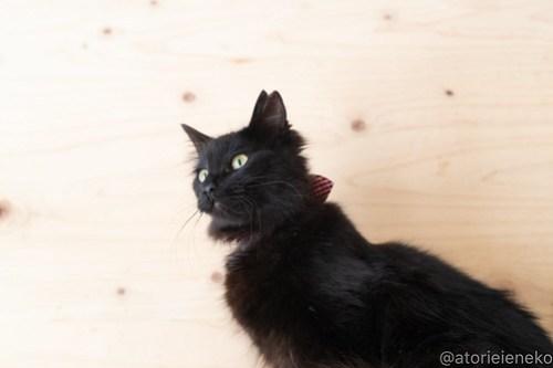 アトリエイエネコ Cat Photographer 40582379214_e83c33bd39 1日1猫!ニャンとぴあ 里親様募集中の姫子ちゃん♪ 1日1猫!