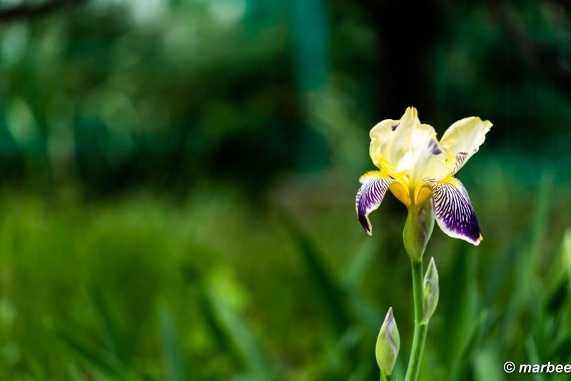 Bloomed Iris tectorum