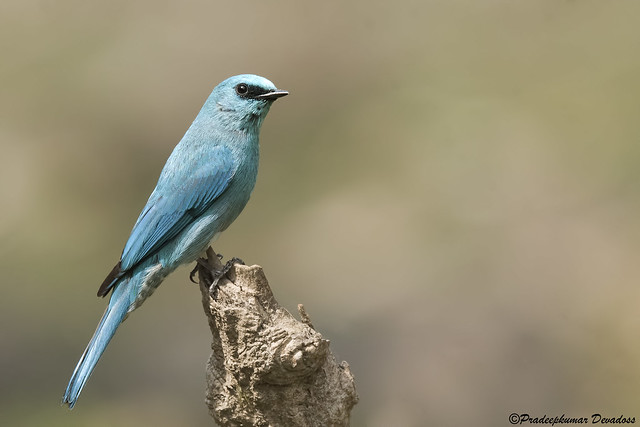 Verditer Flycatcher - male