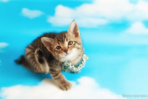 アトリエイエネコ Cat Photographer 26999670197_ae8664304d 1日1猫!おおさかねこ倶楽部 里親様募集中のはたくん&タイくん&カツオくん♪ 1日1猫!  里親様募集中 猫写真 猫カフェ 猫 子猫 大阪 初心者 写真 保護猫カフェ 保護猫 ニャンとぴあ カメラ おおさかねこ倶楽部 Kitten Cute cat