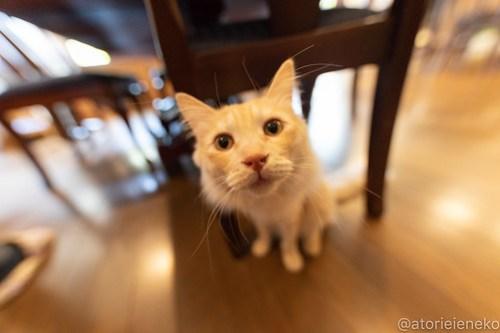 アトリエイエネコ Cat Photographer 40716759554_f31457e3a5 1日1猫!CaraCatCafe ダルも忘れるなダル! 1日1猫!  箕面 猫写真 猫 子猫 大阪 初心者 写真 保護猫カフェ 保護猫 スマホ カメラ Kitten Cute cat caracatcafe