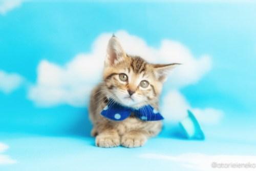 アトリエイエネコ Cat Photographer 41824841852_0f0544a98c 1日1猫!ニャンとぴあキャッツ 里親様募集中のハタくん♪ 1日1猫!  里親様募集中 猫写真 猫カフェ 猫 子猫 大阪 初心者 写真 保護猫カフェ 保護猫 ニャンとぴあ スマホ キジ猫 カメラ おおさかねこ倶楽部 Kitten Cute cat
