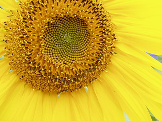 Sunflower Golden Mean