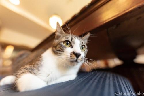 アトリエイエネコ Cat Photographer 26560000987_1eed293234 1日1猫!CaraCatCafe 幸せになるみつこちゃん♪ 1日1猫!  箕面 猫写真 猫カフェ 猫 子猫 大阪 初心者 写真 保護猫カフェ 保護猫 Kitten Cute cat caracatcafe