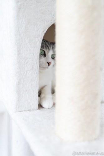 アトリエイエネコ Cat Photographer 40754935974_ef49687312 1日1猫!保護猫カフェねこんチ 新メンバーのパックくん! 1日1猫!  猫写真 猫カフェ 猫 大阪 初心者 写真 保護猫カフェねこんチ 保護猫カフェ 保護猫 スマホ カメラ Kitten Cute cat