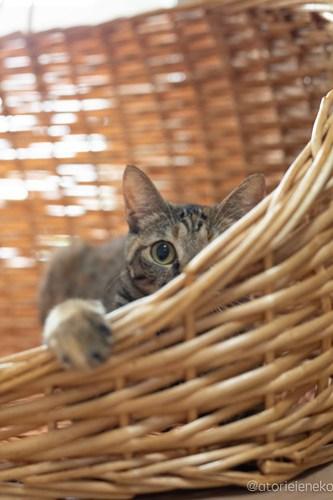 アトリエイエネコ Cat Photographer 42074889975_b0ef3101eb 1日1猫!保護猫カフェけやきさんに又又行って来た!(2/2) 1日1猫!  里親様募集中 猫写真 猫カフェ 猫 子猫 大阪 初心者 写真 保護猫カフェけやき 保護猫カフェ 保護猫 スマホ カメラ Kitten Cute cat