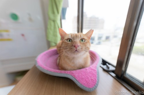 アトリエイエネコ Cat Photographer 39660138200_1ae896f24c 1日1猫!保護猫カフェねこんチ こんちゃん! 1日1猫!  猫カフェ 猫 子猫 大阪 写真 保護猫カフェねこんチ 保護猫カフェ 保護猫 スマホ カメラ Kitten Cute cat