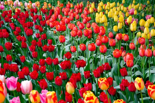 Roozengaarde Tulips-050