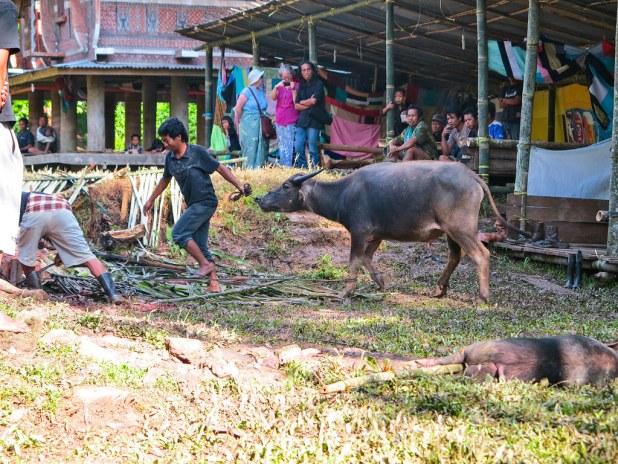 Celebración de un funeral en Tana Toraja