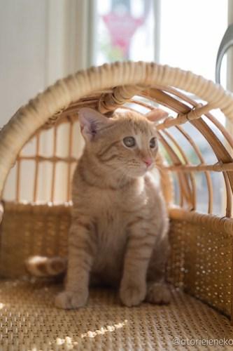 アトリエイエネコ Cat Photographer 41484327935_7016ecefb2 1日1猫!高槻ねこのおうち 茶トラ兄弟!!! 1日1猫!  高槻ねこのおうち 里親様募集中 猫写真 猫カフェ 猫 子猫 大阪 初心者 写真 保護猫カフェ 保護猫 カメラ Kitten Cute cat