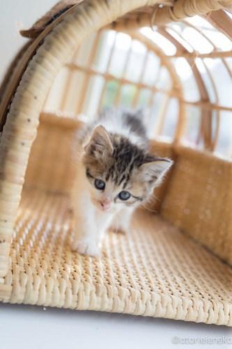 アトリエイエネコ Cat Photographer 42386975841_c7e60141a5 1日1猫!高槻ねこのおうち まだまだいるよ子猫達! 1日1猫!  高槻ねこのおうち 里親様募集中 猫写真 猫カフェ 猫 子猫 大阪 初心者 写真 保護猫カフェ 保護猫 スマホ キジ猫 カメラ Kitten Cute cat
