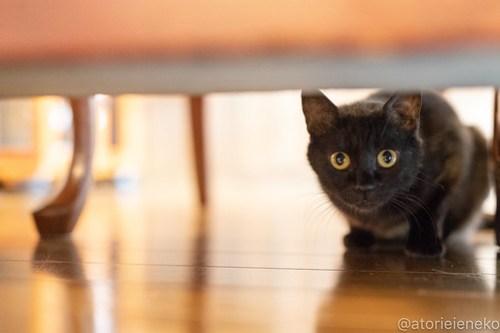 アトリエイエネコ Cat Photographer 26560019197_5064793cea 1日1猫!CaraCatCafe 里親様募集中のレイラちゃん♪ 1日1猫!  黒猫 里親様募集中 箕面 猫写真 猫 子猫 大阪 初心者 写真 保護猫カフェ 保護猫 スマホ カメラ Kitten Cute cat caracatcafe