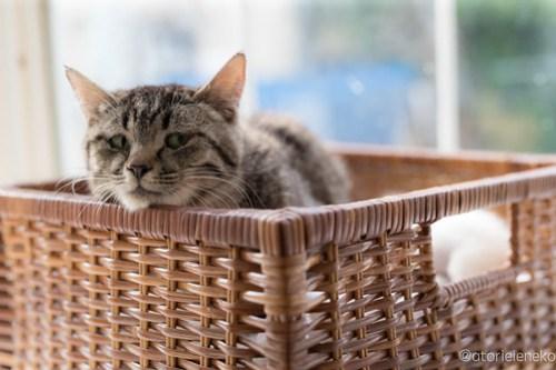 アトリエイエネコ Cat Photographer 42337376812_fd7c16ea7a 1日1猫!高槻ねこのおうち キジ猫お母さん子育て中!!! 1日1猫!  高槻ねこのおうち 里親様募集中 猫写真 猫カフェ 猫 子猫 大阪 初心者 写真 保護猫カフェ 保護猫 スマホ キジ猫 カメラ Kitten Cute cat
