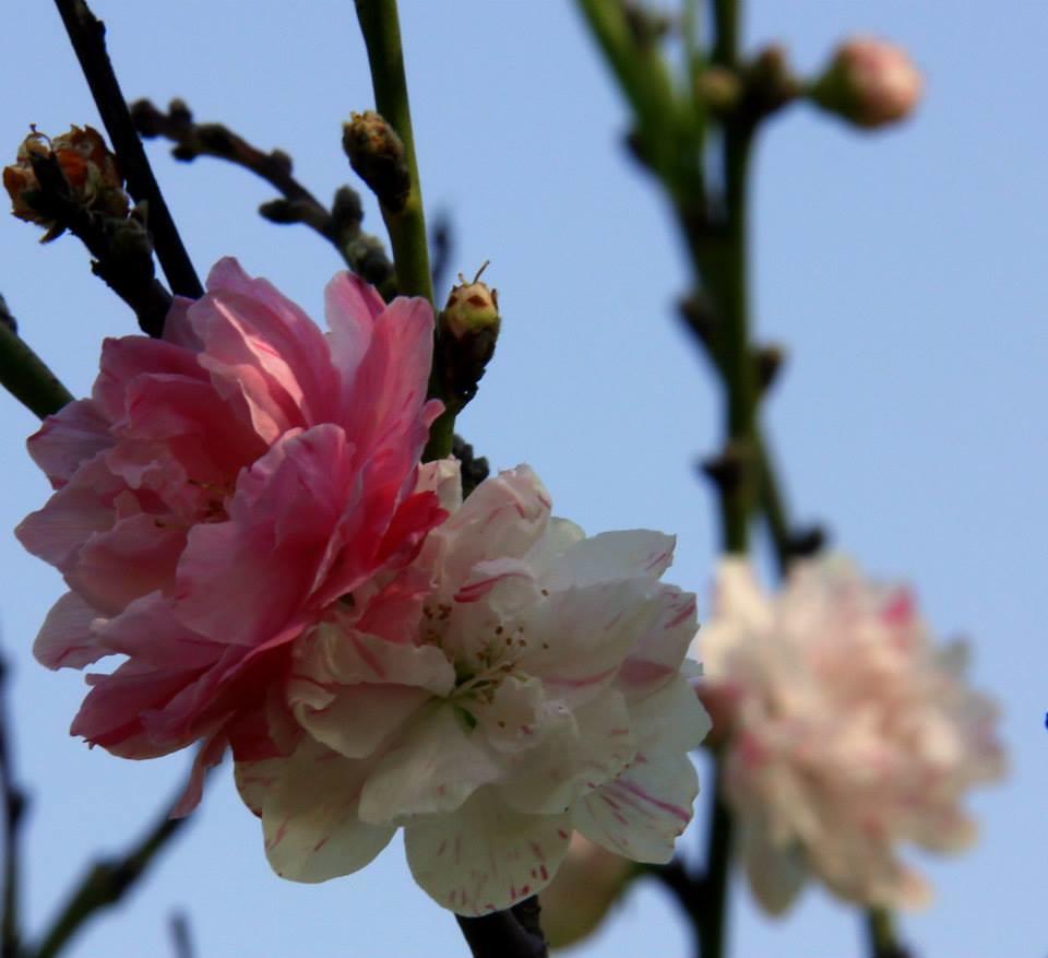 Flowers blooming in Kashmir in spring