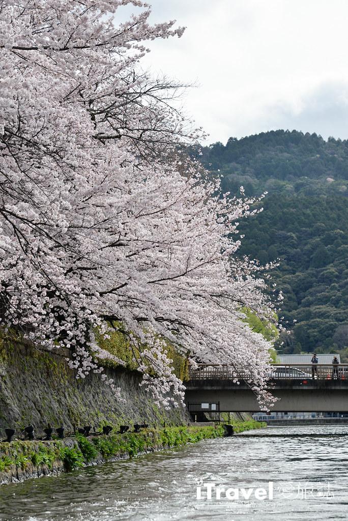 京都賞櫻景點 岡崎疏水道 (13)