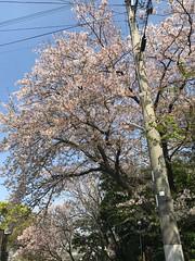 そろそろ桜も散り始め