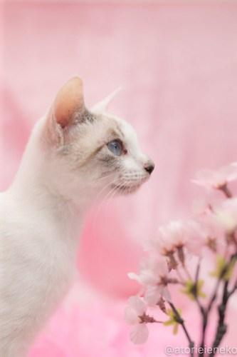 アトリエイエネコ Cat Photographer 39347727990_122bf9dfdf 1日1猫!高槻ねこのおうち_カフェぽぉ譲渡会_1 1日1猫!  高槻ねこのおうち 里親様募集中 譲渡会 猫写真 猫 子猫 大阪 写真展 写真 保護猫 カメラ Kitten Cute cat
