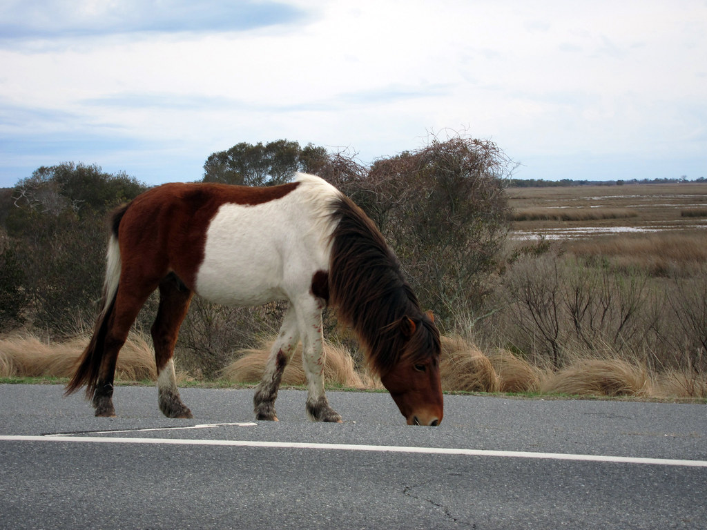 Wild ponies at Assateague