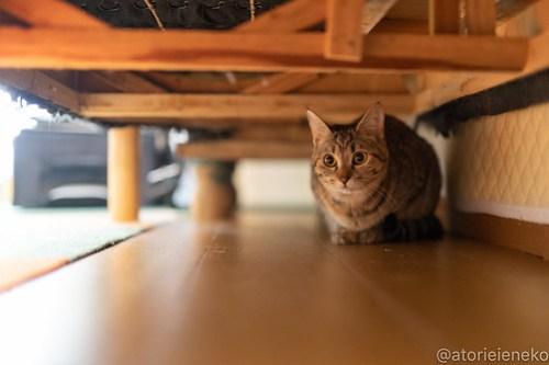 アトリエイエネコ Cat Photographer 27742412518_31f3b35ace 1日1猫!小さな猫カフェ「ペルちゃん」に行ってきた その1♪ 1日1猫!  里親様募集中 猫写真 猫カフェ 猫 守口市 子猫 大阪 写真 保護猫カフェ 保護猫 ペルちゃん スマホ カメラ Kitten Cute cat