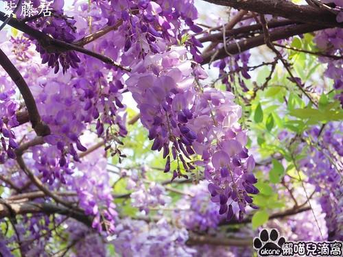 新埔紫藤居