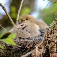 saw this beautiful bird nesting in an oak tree in our back yard